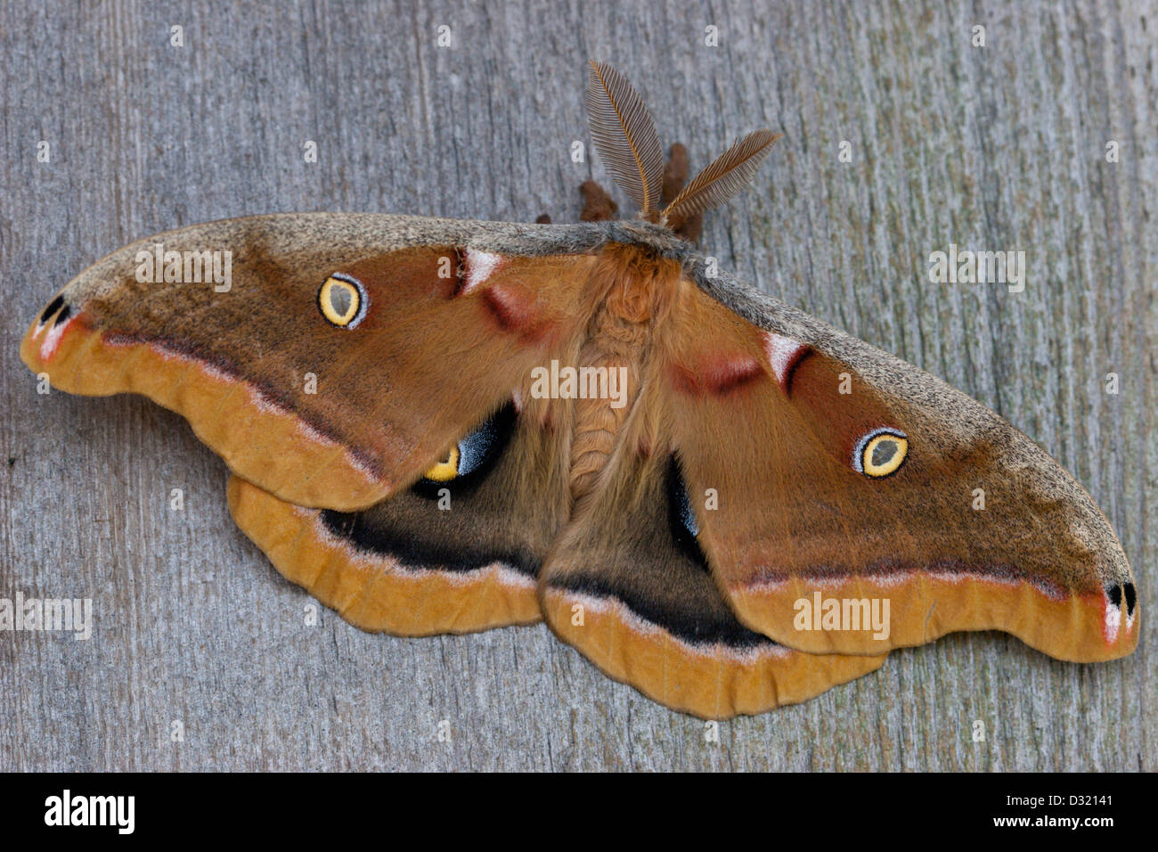 cecropia moth insect wings colourful color - Stock Image