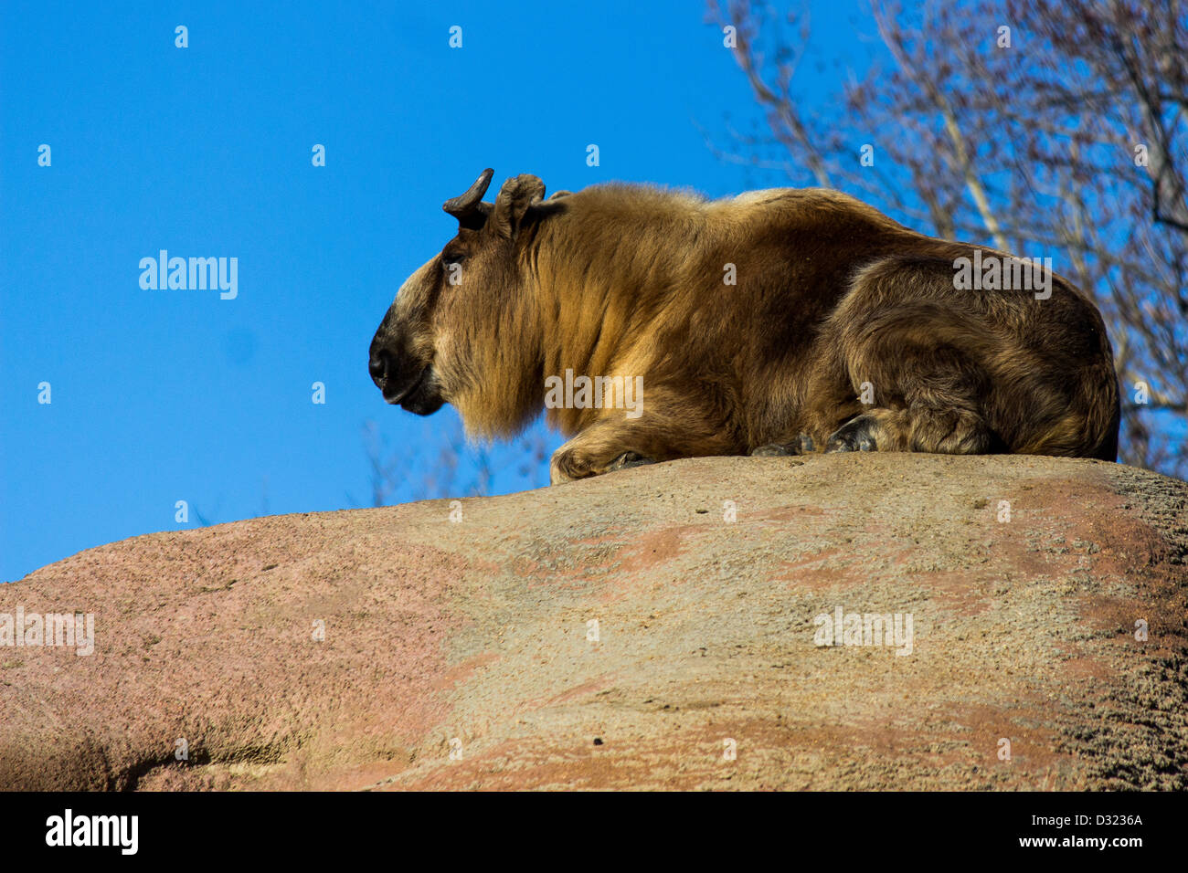 A mountain goat resting on top of a rock - Stock Image