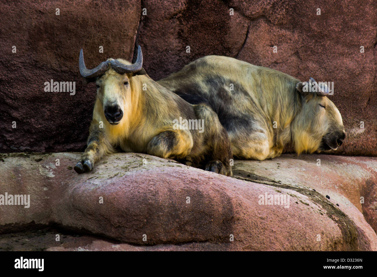 Two mountain goats resting on a rock - Stock Image
