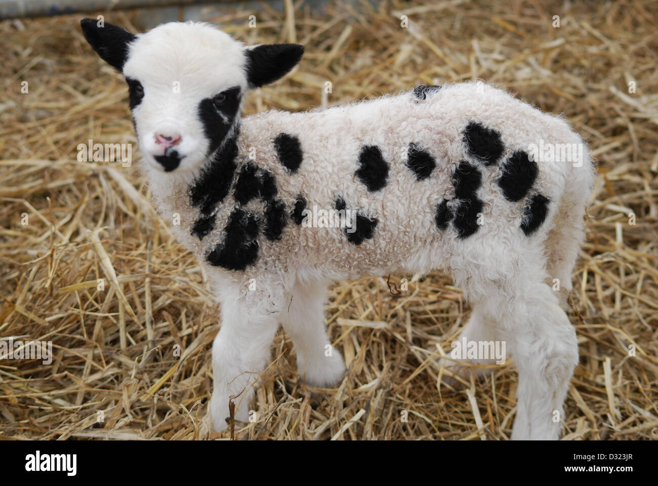 A newly born lamb on a petting zoo and farm in a pen of fresh hay or ... for Sheep Face Black And White  156eri