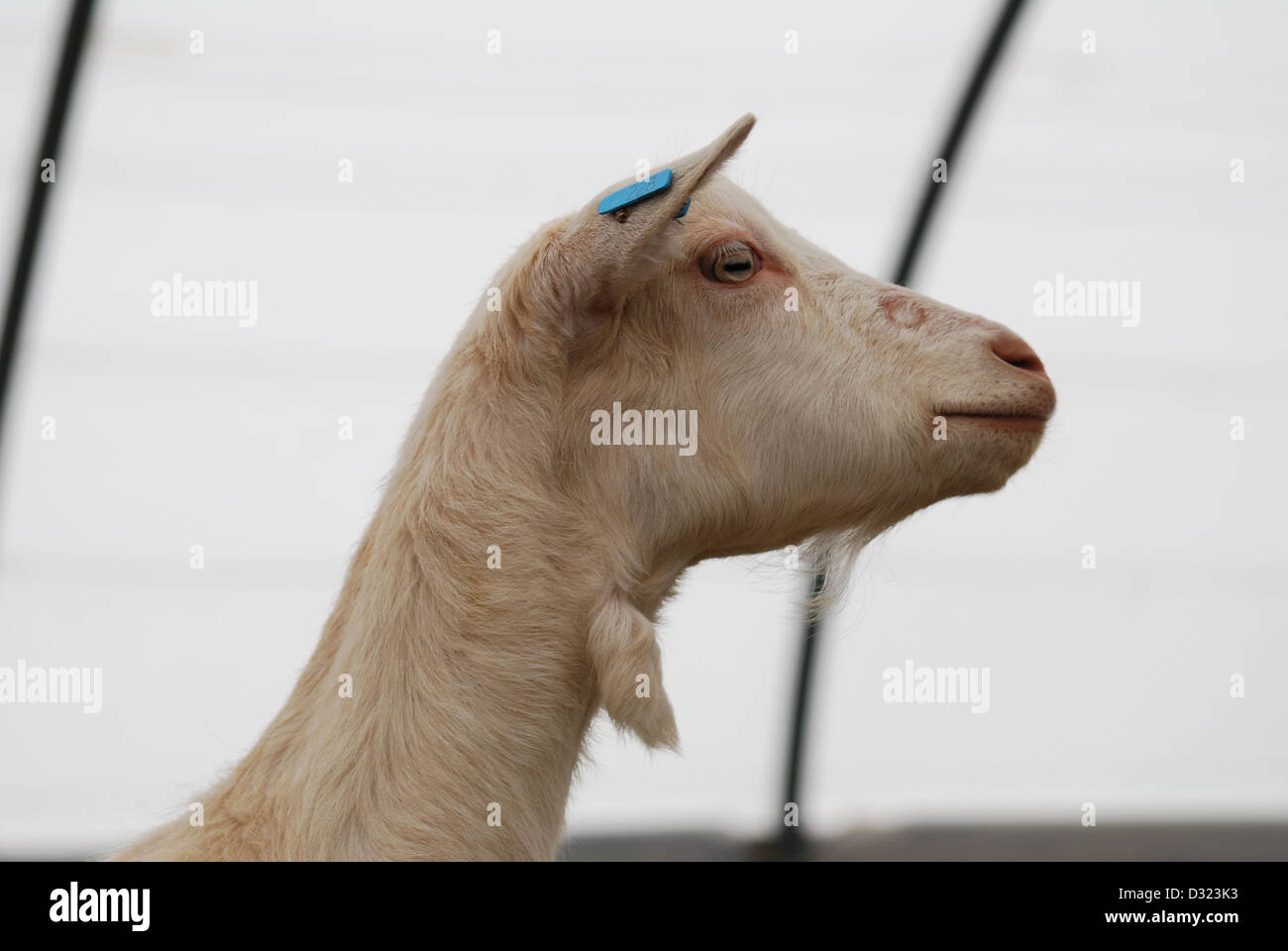 Goat Slaughter Stock Photos & Goat Slaughter Stock Images