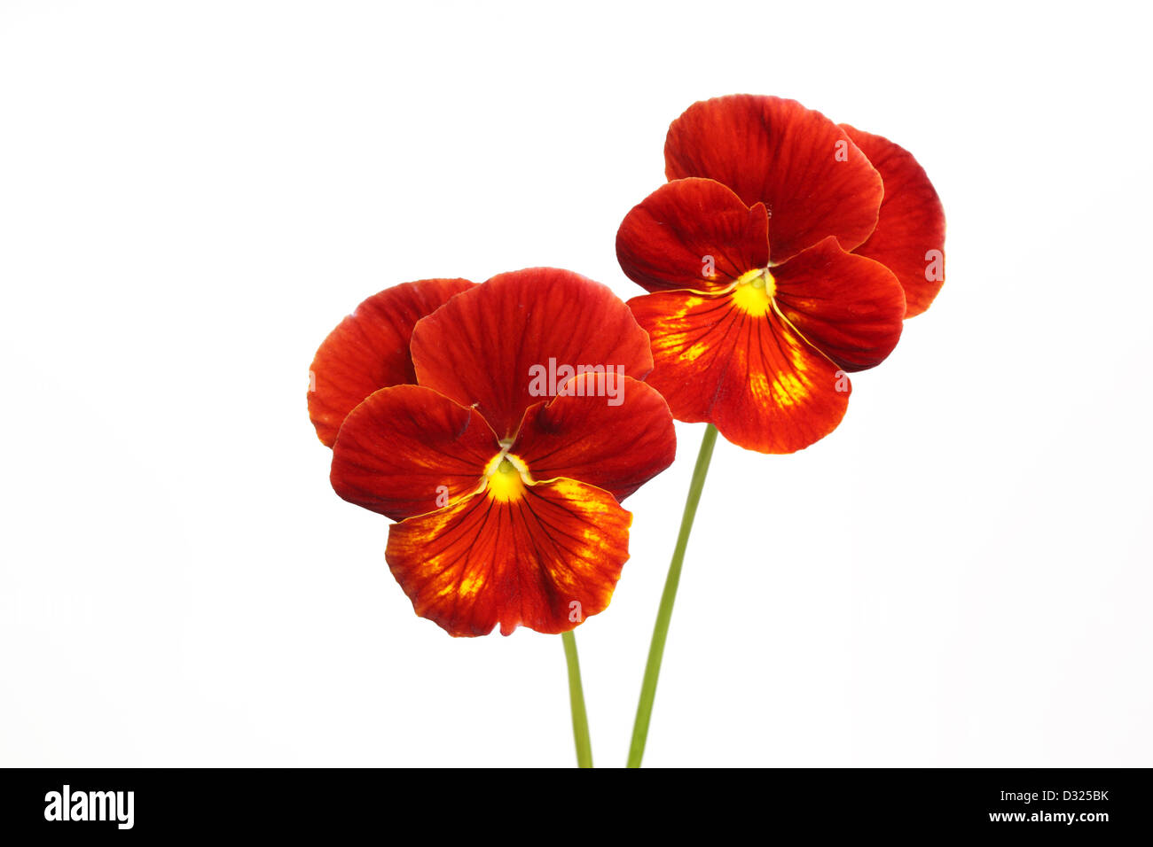 Two pansy flowers isolated on white background - Stock Image