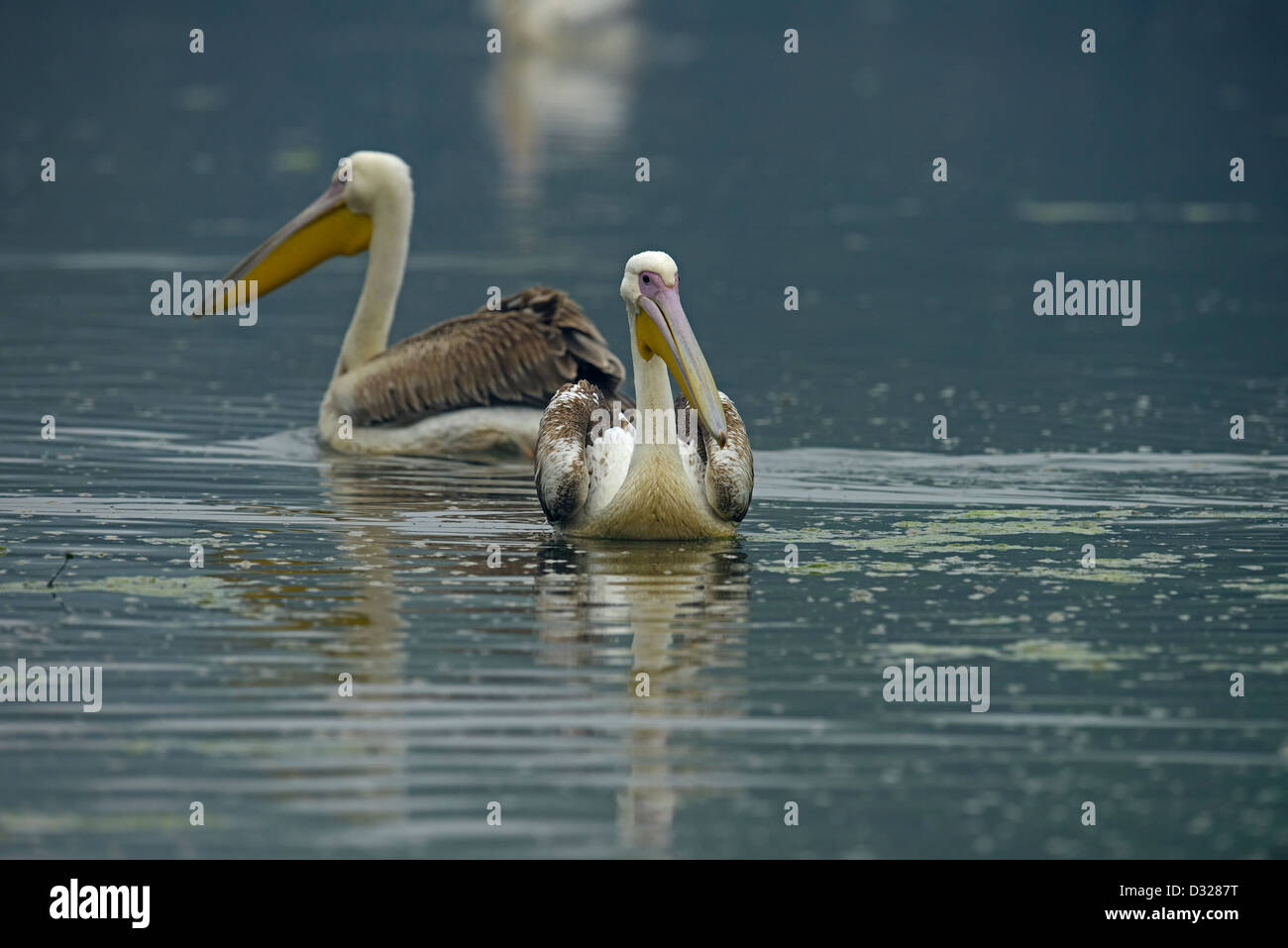 Two Great White or Rosy Pelican (Pelecanus onocrotalus) swimming in a lake in Bharatpur bird sanctuary. - Stock Image