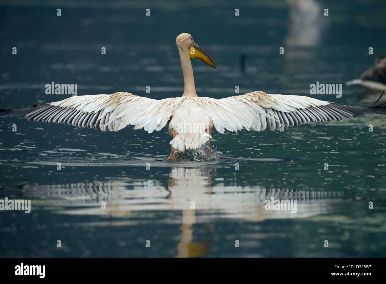 Great White or Rosy Pelican (Pelecanus onocrotalus) in flight in a lake in Bharatpur bird sanctuary. - Stock Image