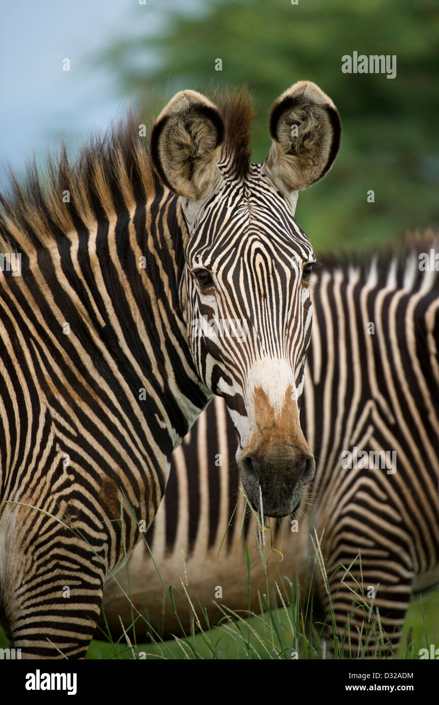 Grevy's zebra (Equus grevyi), Lewa Wildlife Conservancy, Laikipia Plateau, Kenya Stock Photo