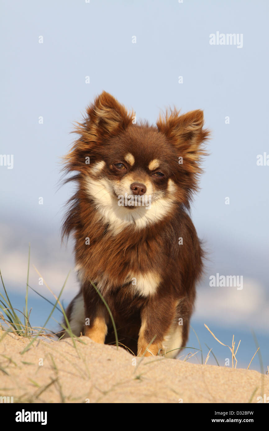 Dog Chihuahua longhair adult sitting in a meadow - Stock Image