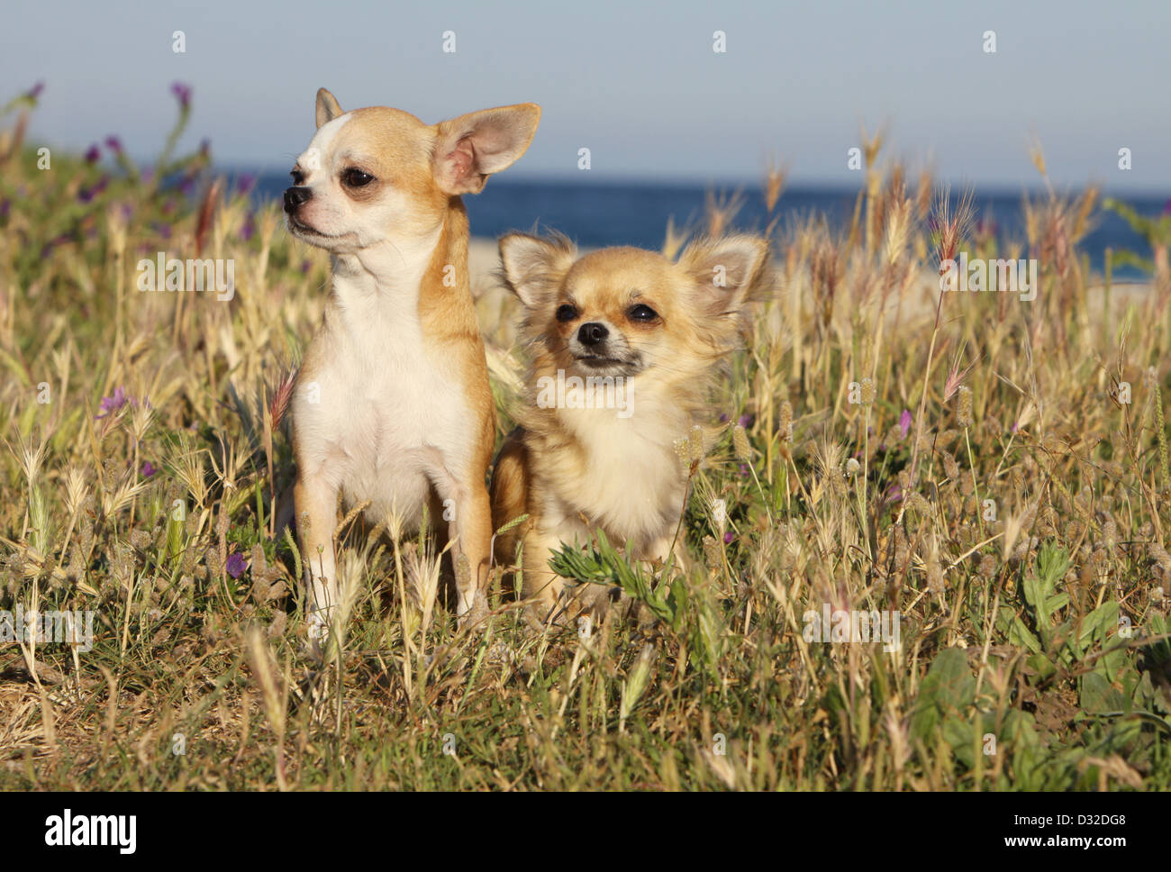 Dog Chihuahua longhair and shorthair /  two adults sitting in a meadow - Stock Image