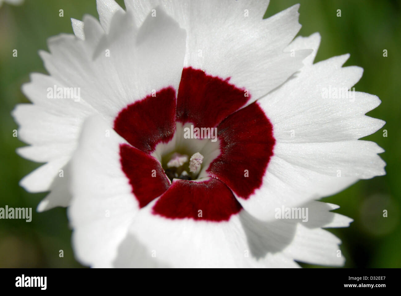 Red and white sweet william flower dianthus barbatus stock photo red and white sweet william flower dianthus barbatus mightylinksfo