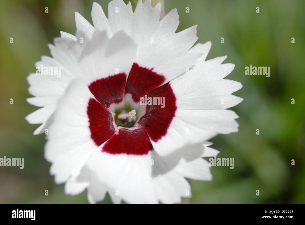 Sweet William Dianthus Stock Photos Sweet William Dianthus Stock