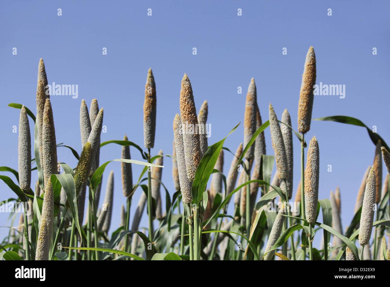 Bajra millet, Pennisetum glaucum field. Rajgurunagar Near Pune - Stock Image