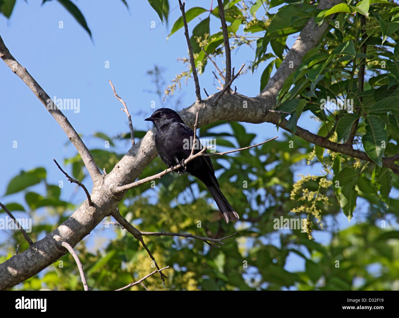 Southern black flycatcher in South Africa - Stock Image