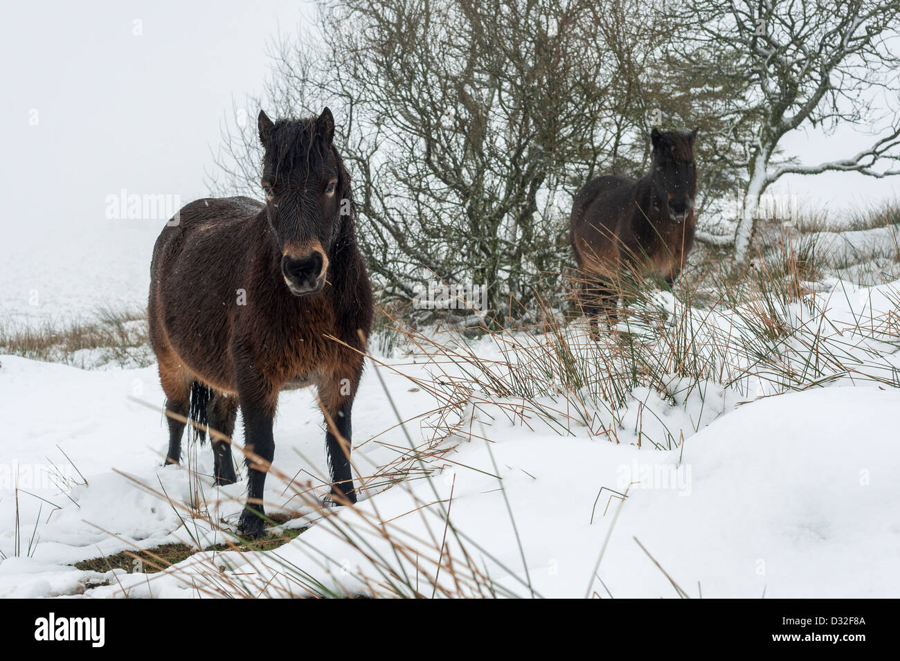 Dartmoor ponies in snowy winter weather on Dartmoor near the Warren House Inn. - Stock Image