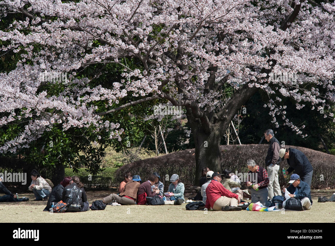 Tokyo, Japan. Picnickers holding hanami parties to enjoy the cherry blossom (sakura) in the East Gardens of the - Stock Image