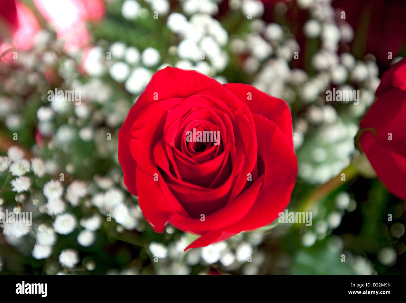 Red rose, Genus rosa - Stock Image