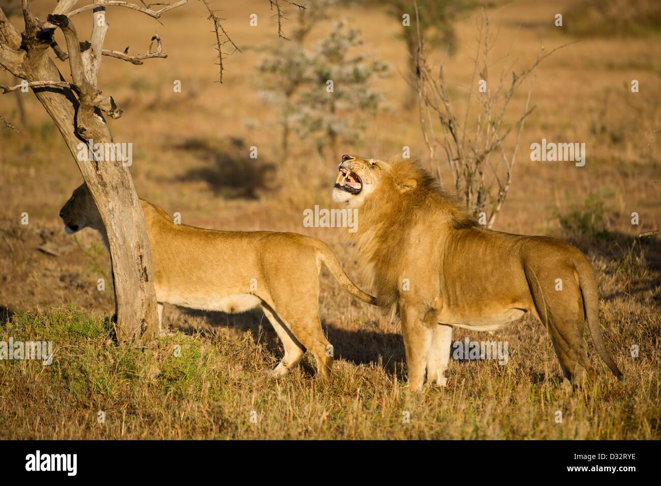 mating pair of lions (Panthero leo), Maasai Mara National Reserve, Kenya - Stock Image