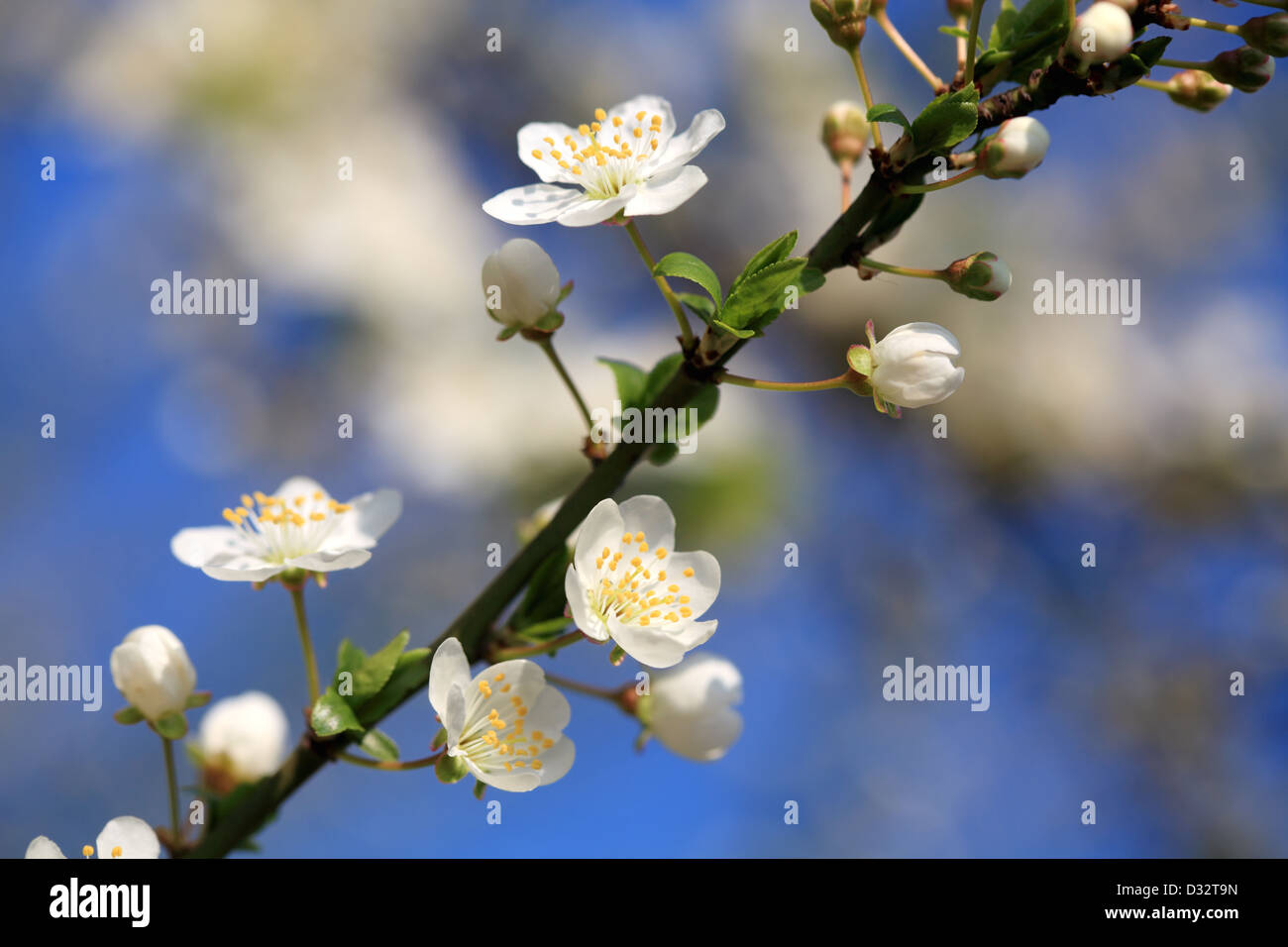 White Plum Flower In Close Up Stock Photo 53538065 Alamy