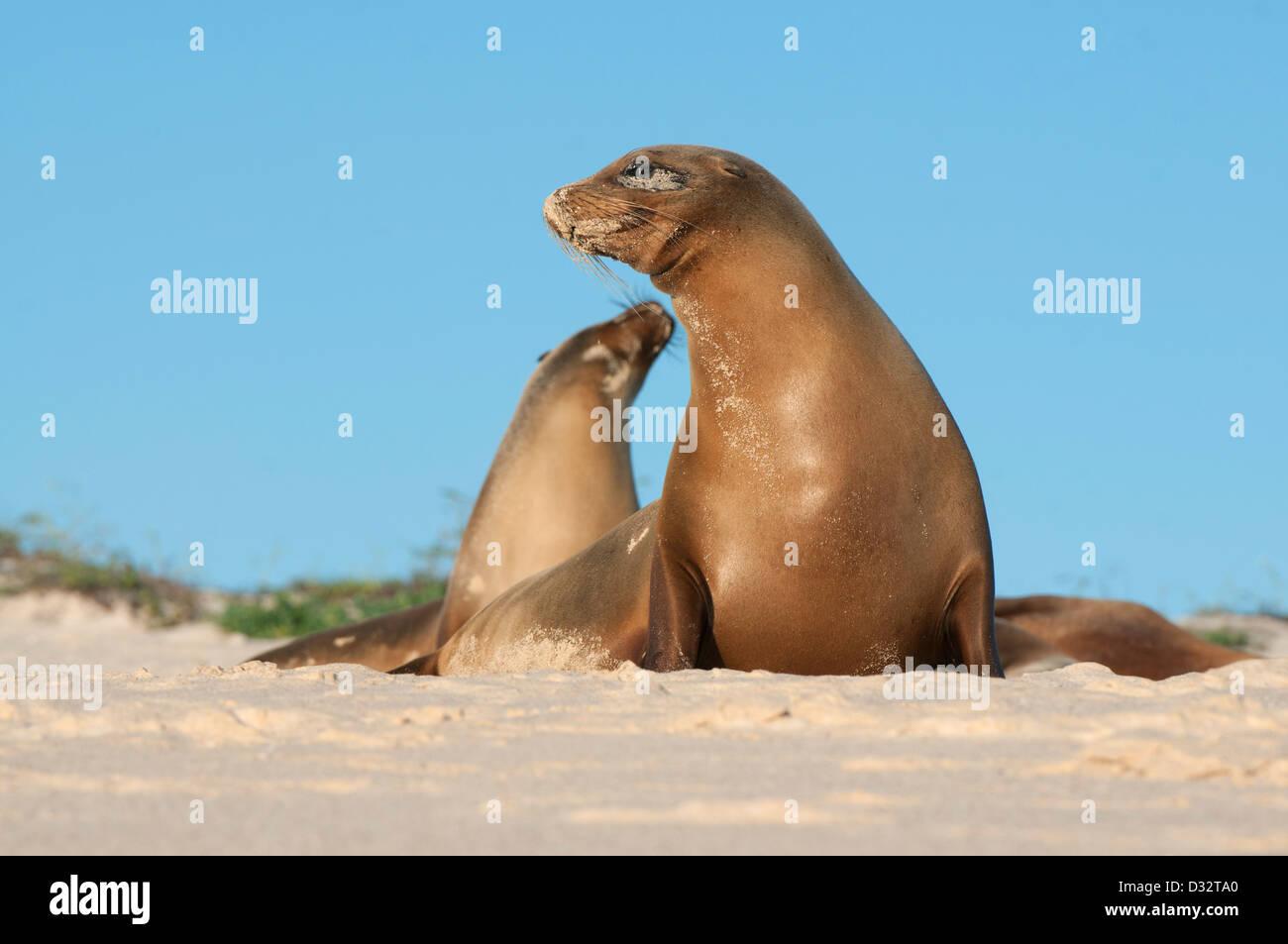 Galápagos sea lions (Zalophus wollebaeki) Cerro Brujo, San Cristobal Is. Galapagos - Stock Image