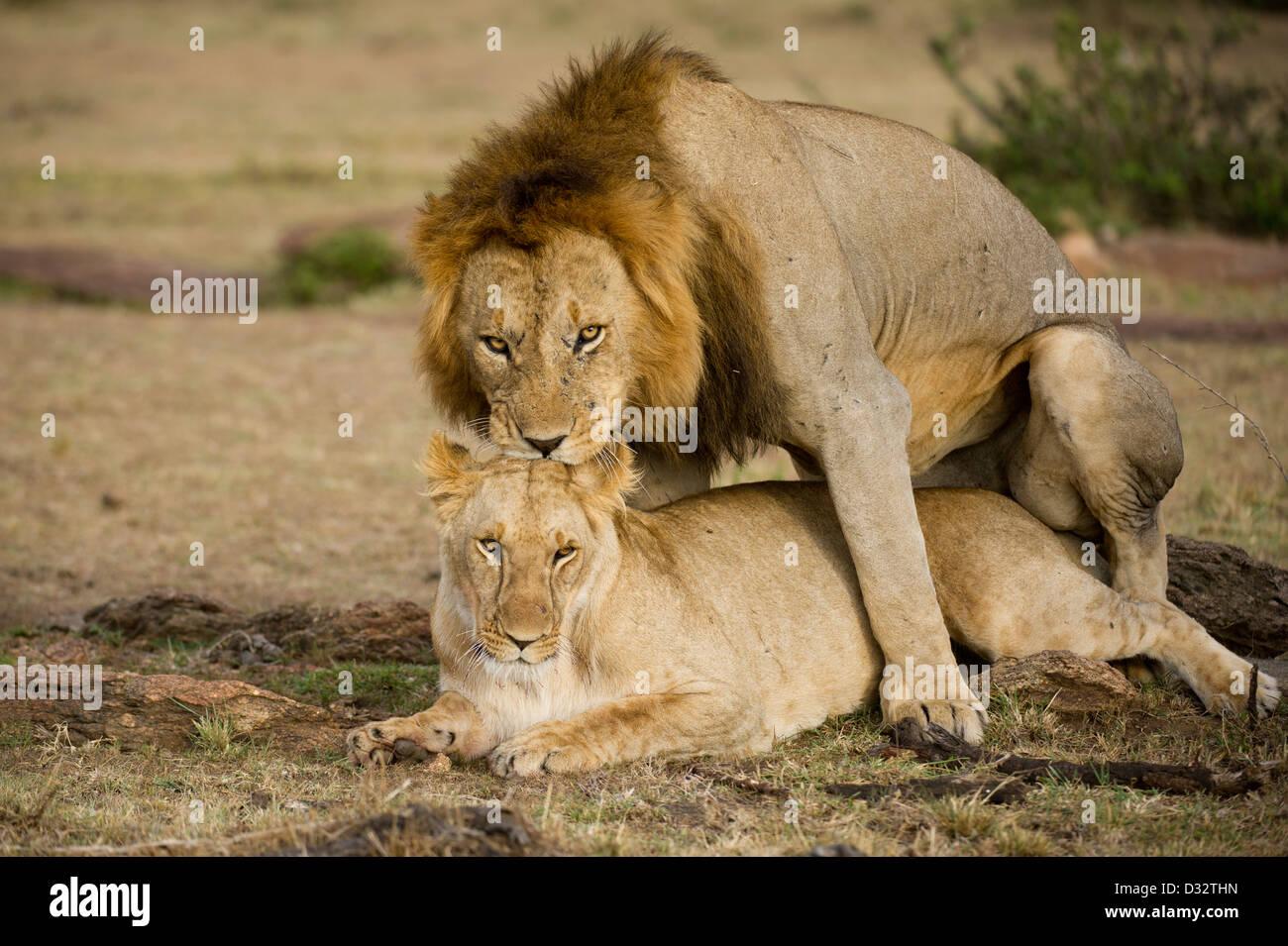 Lions mating (Panthero leo), Maasai Mara National Reserve, Kenya - Stock Image