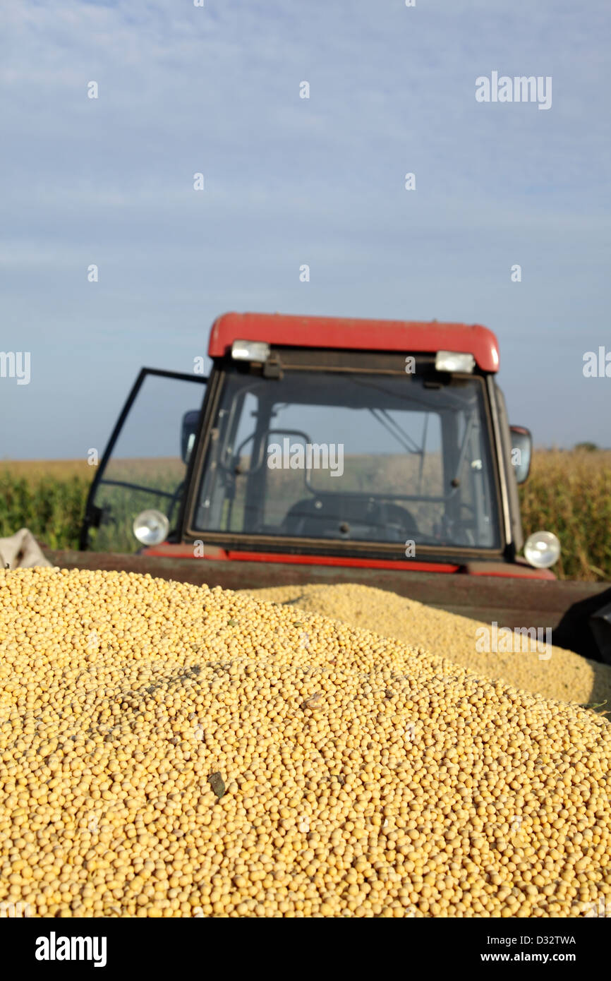 Heap of soy beans at tractor trailer - Stock Image