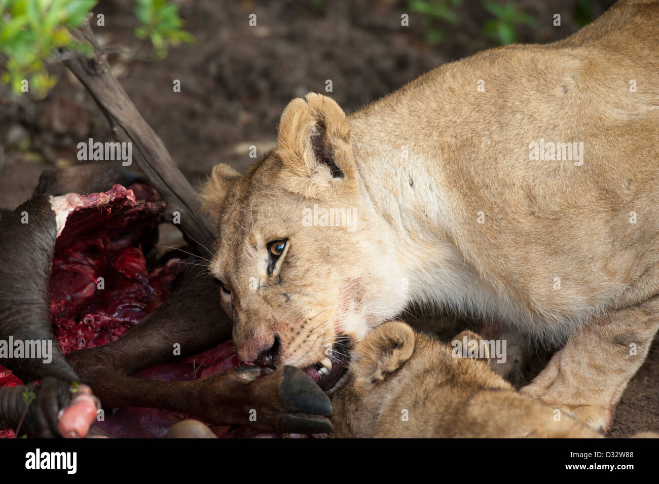 Lions on a kill (Panthero leo), Maasai Mara National Reserve, Kenya Stock Photo