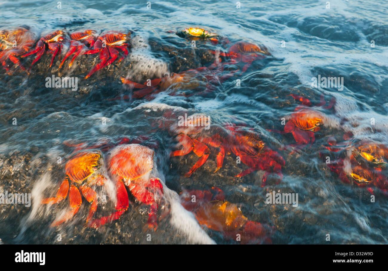 Sally Lightfoot Crab (Grapsus grapsus) In surf, Santiago Island, Galapagos islands, Ecuador - Stock Image