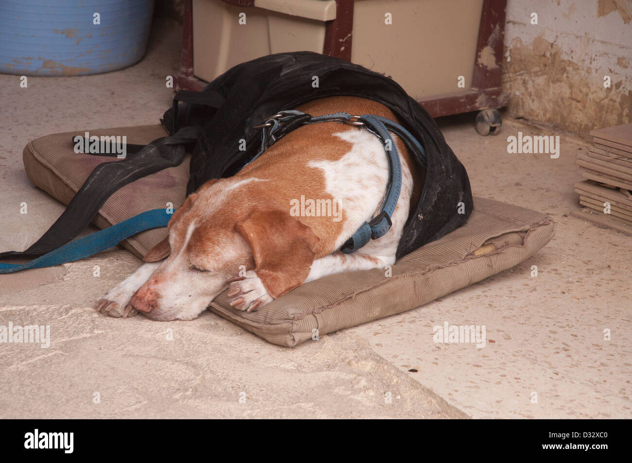 dog sleeping on old cushion, dog lead , dog collar, hard floor, inside shop, relaxing, snoozing resting - Stock Image