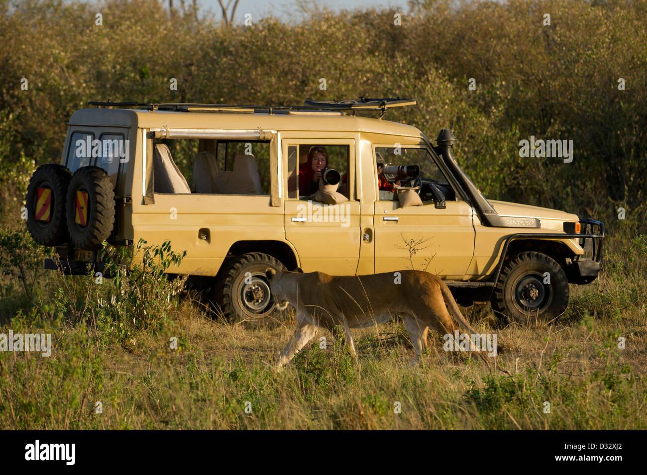 Safari vehicle with Lion (Panthero leo), Maasai Mara National Reserve, Kenya - Stock Image