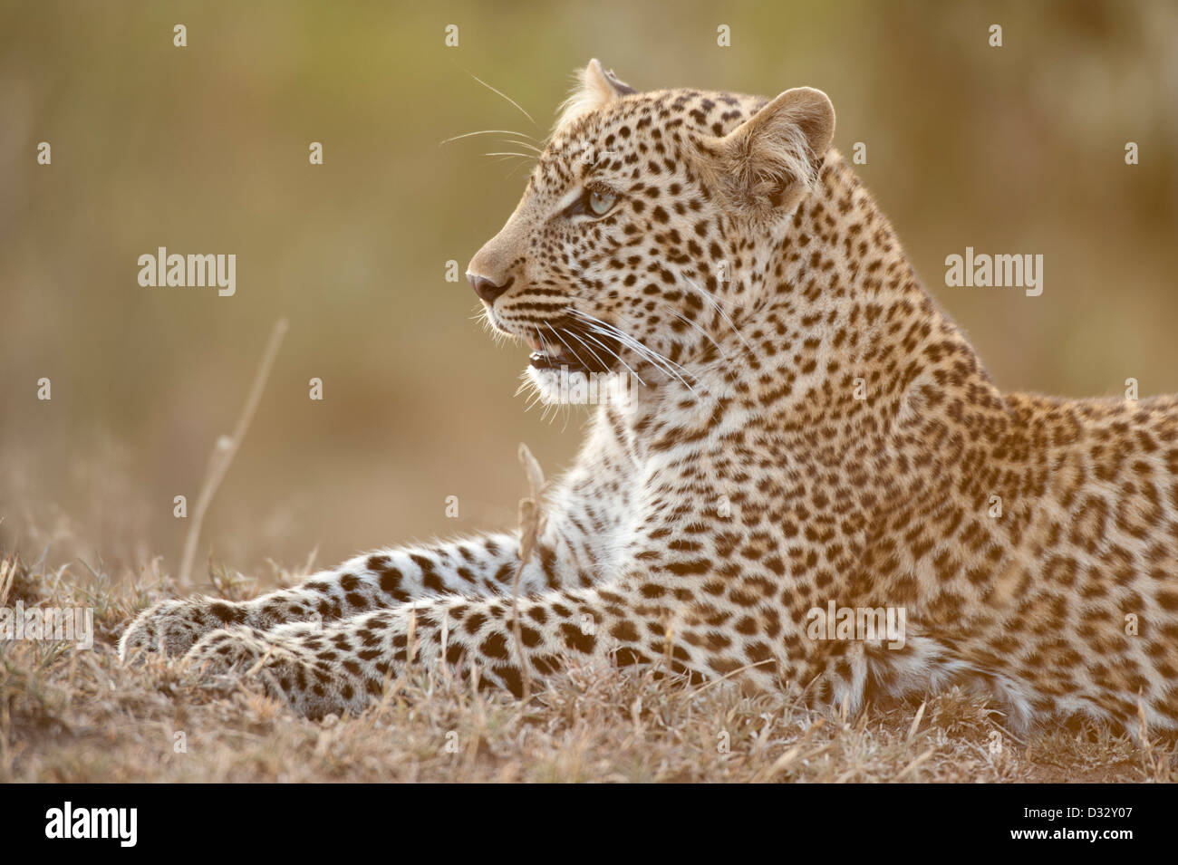 Leopard (Panthera pardus), Maasai Mara National Reserve, Kenya Stock Photo