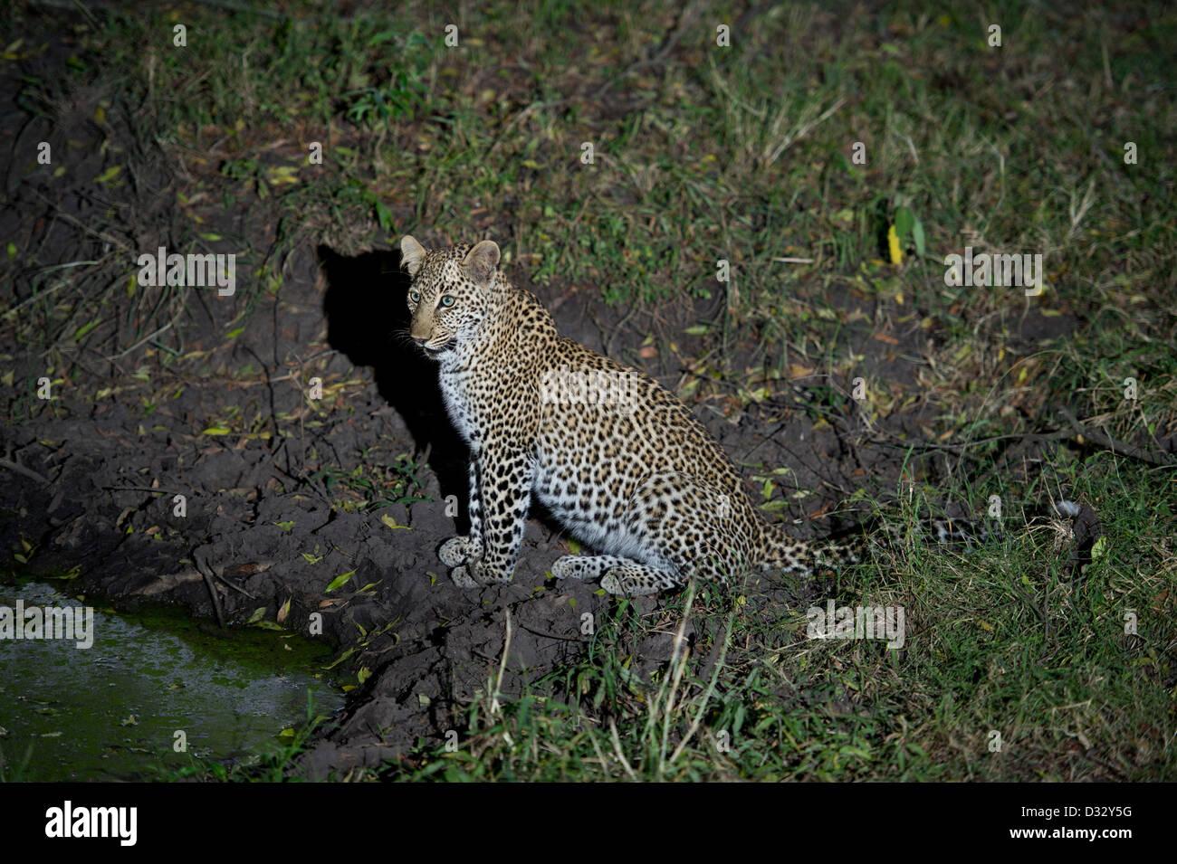 Leopard (Panthera pardus), Maasai Mara National Reserve, Kenya Stock Photo