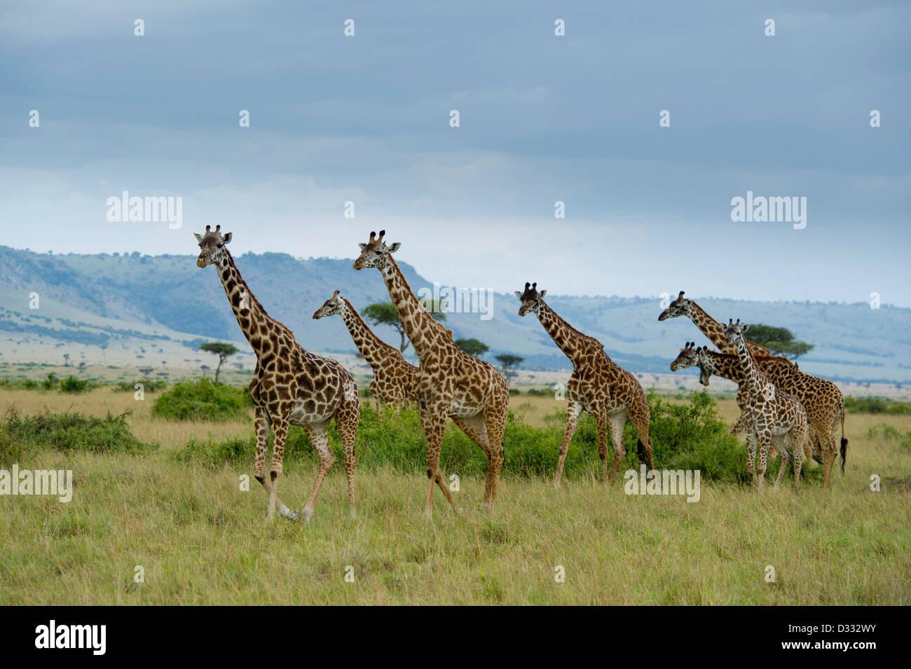 Maasai giraffe (Giraffa camelopardalis tippelskirchi) in front of the Oloololo escarpment, Maasai Mara National Stock Photo