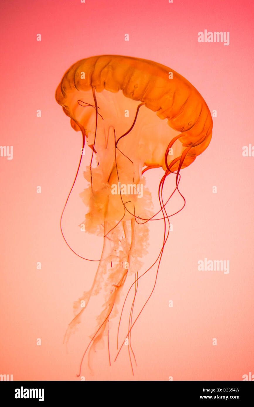 Photograph of a live Pacific Northwest Sea Nettle Jellyfish on a red/orange background. - Stock Image