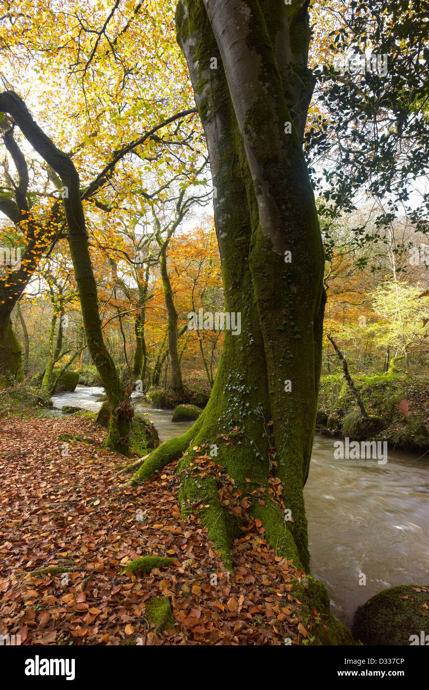 River Parr passing through woodland in Luxulyan Valley Cornwall England - Stock Image