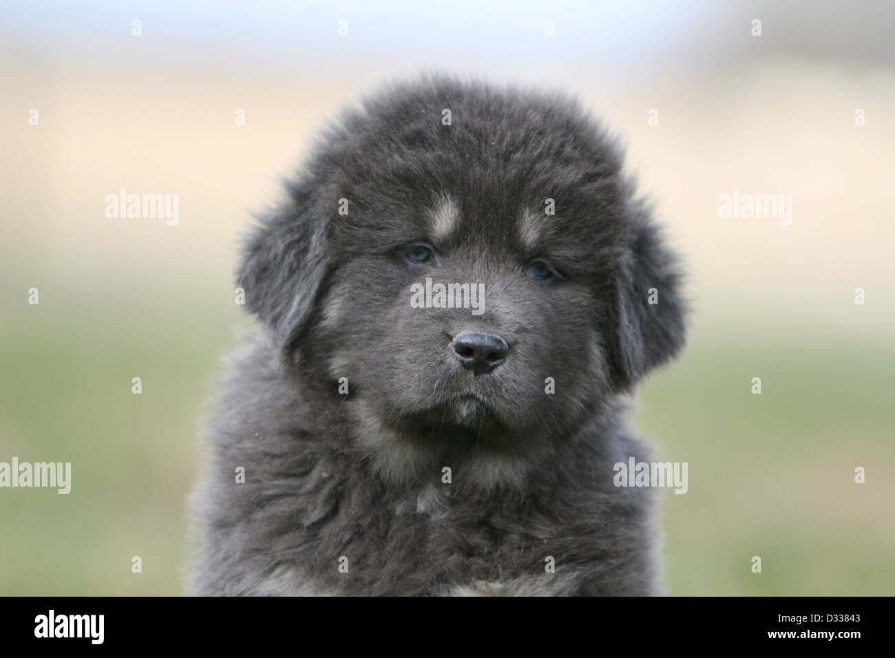 Tibetan Mastiff Puppy Stock Photos & Tibetan Mastiff Puppy Stock ...
