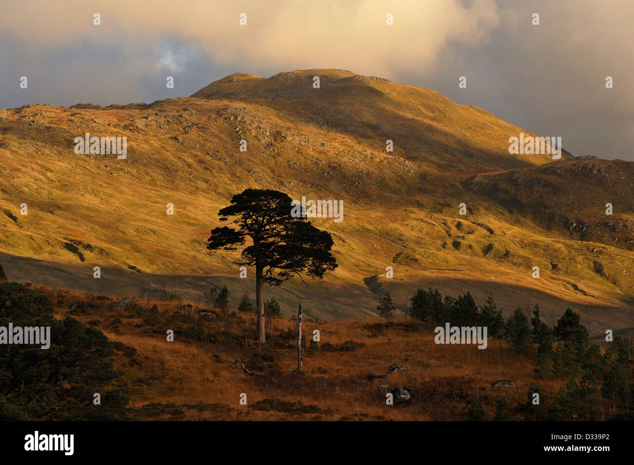Pine trees silhouetted beneath hills of the Ben More Crianlarich range, Scottish Highlands Stock Photo