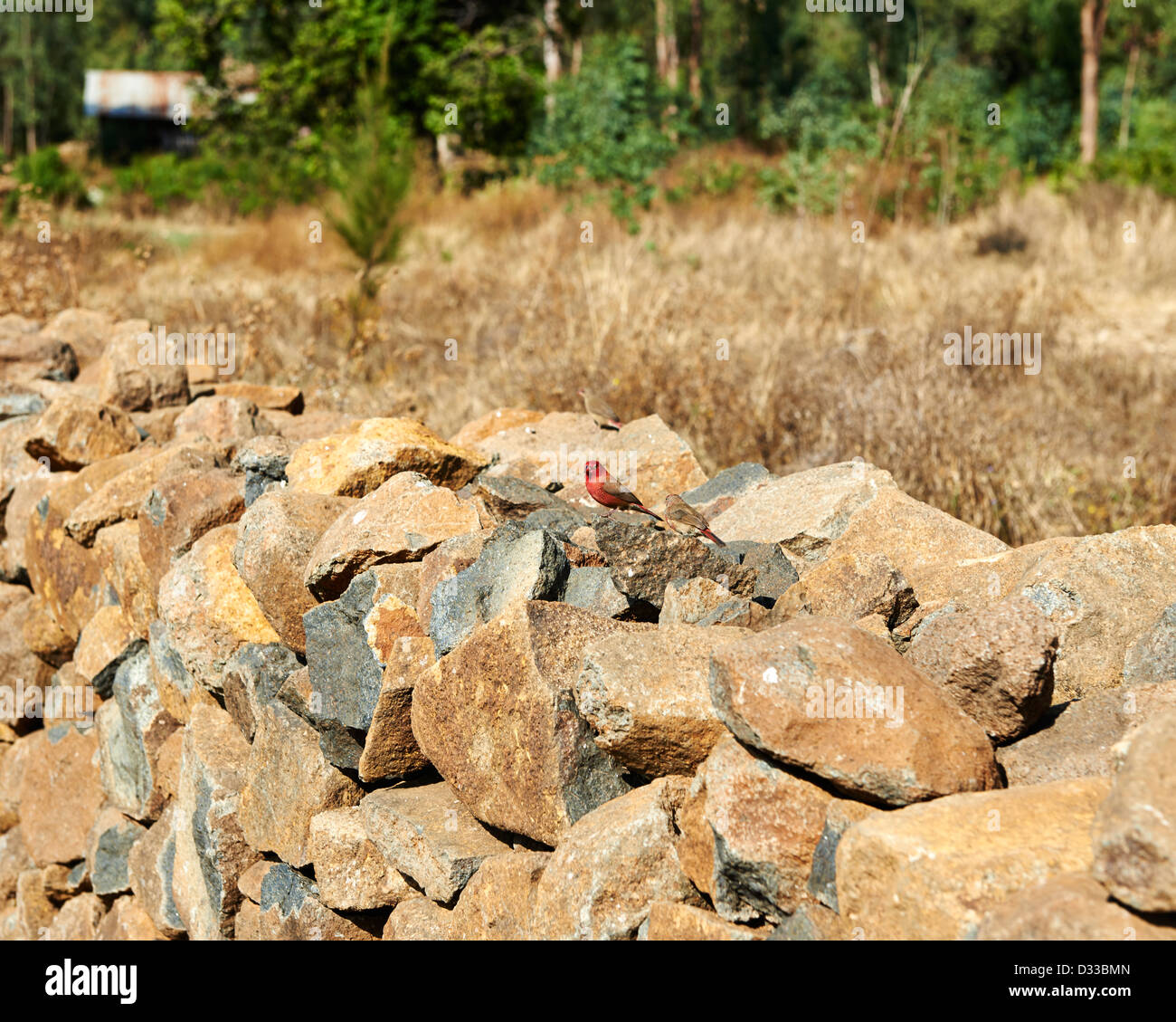 A Red-billed Firefinch perched on a stone wall in Ethiopia, Africa Stock Photo
