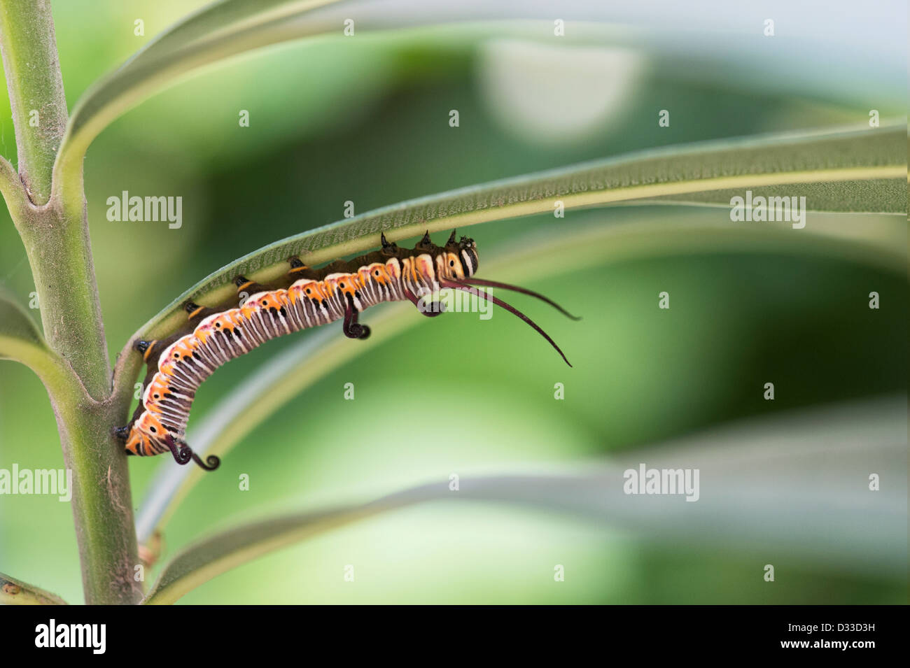 Euploea Core. Common crow butterfly caterpillar in the indian countryside - Stock Image