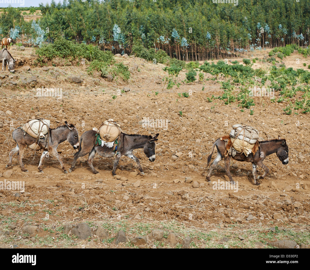 Donkeys carry rut sacks filled with groceries and supplies on a dirt path - Stock Image