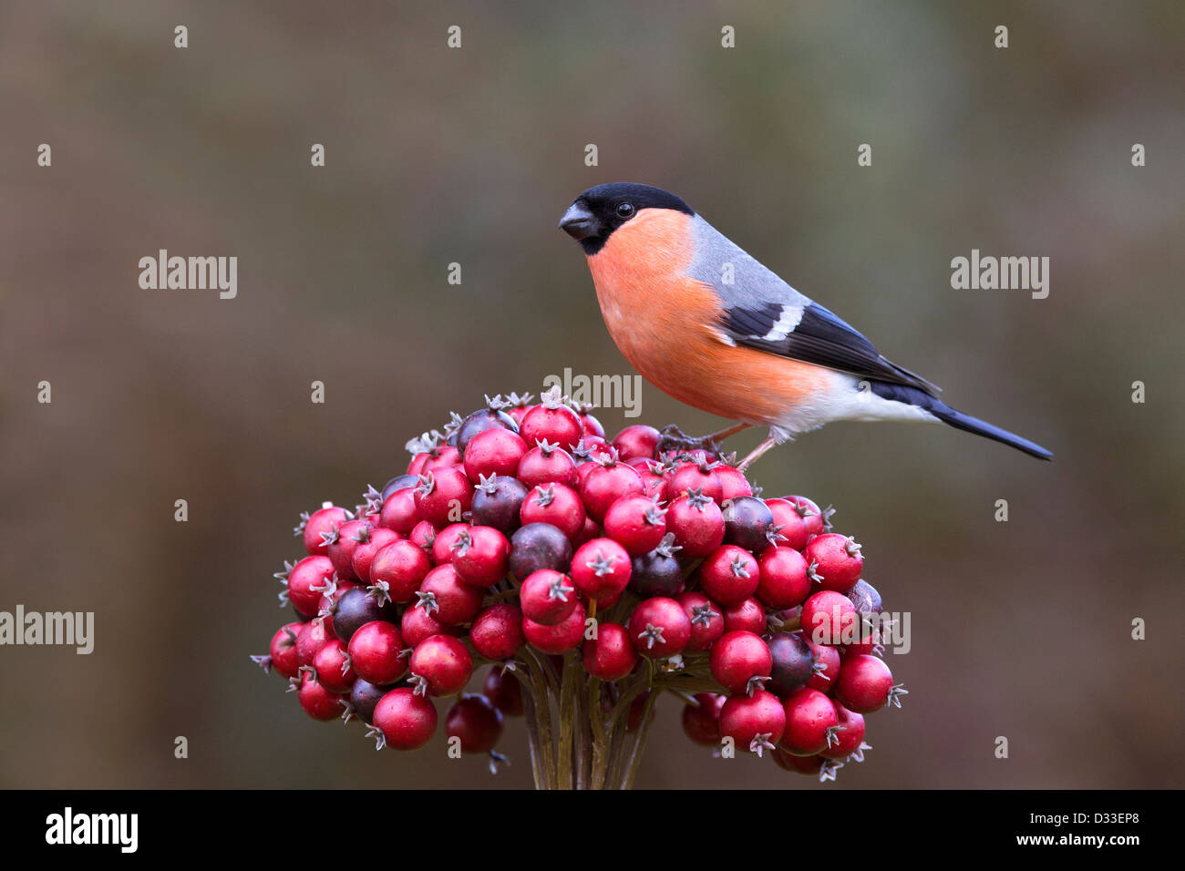 Male Bullfinch on red berries Stock Photo