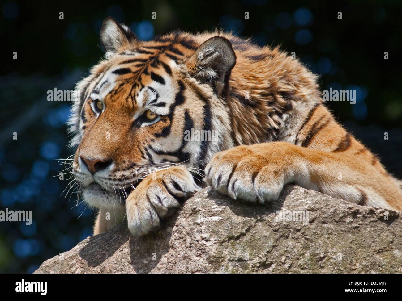 Amur Tiger/Siberian Tiger (panthera tigris altaica) - Stock Image