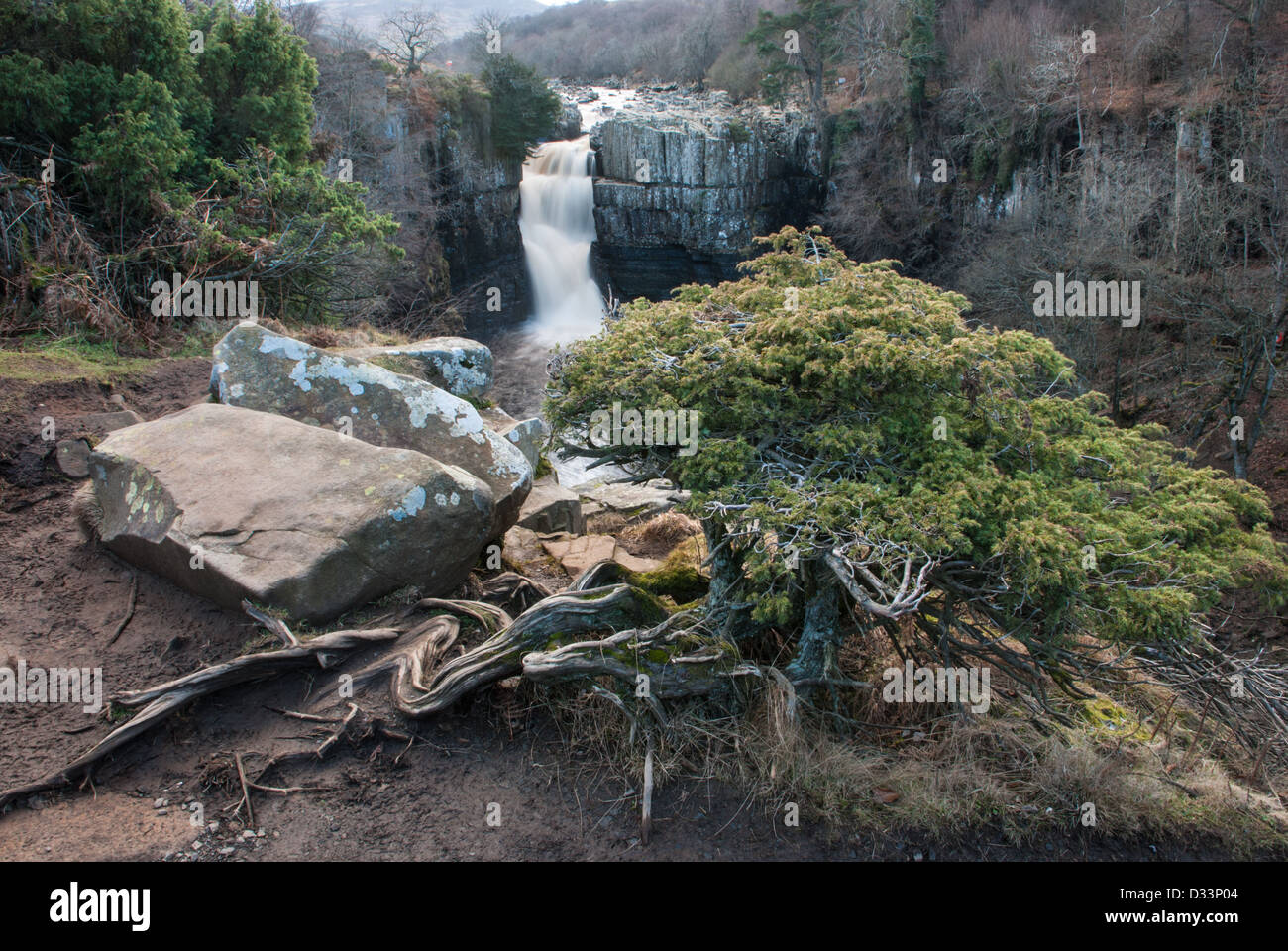 Ancient juniper tree at High Force in Teesdale - Stock Image