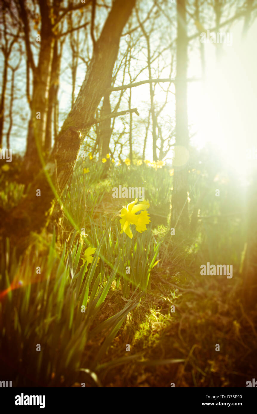 daffodils in a woodland glade nature scene back lit by a low sun - Stock Image