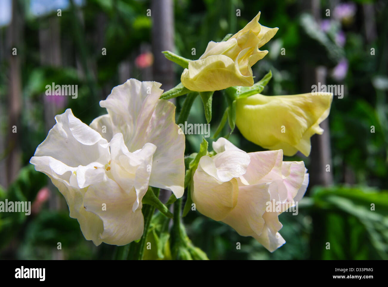 Sweet pea 'Jilly' showing distortion caused by virus - Stock Image