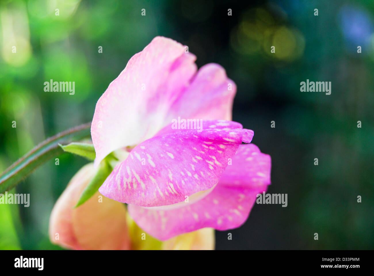 Sweet pea flower showing virus - Stock Image