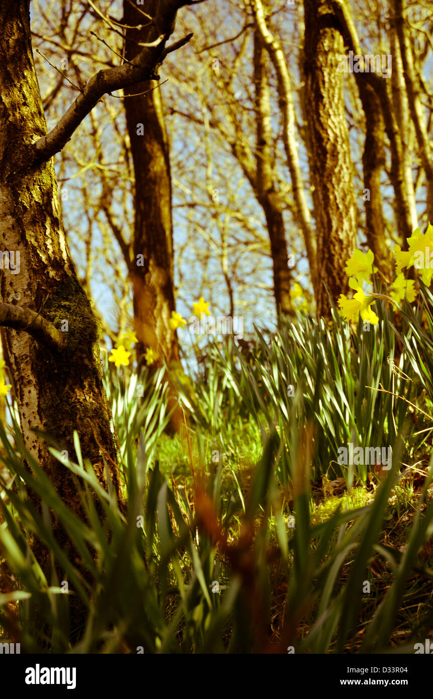 Yellow daffodil narcissus in a woodland wood glade forest trees back lit by low warm sun - Stock Image
