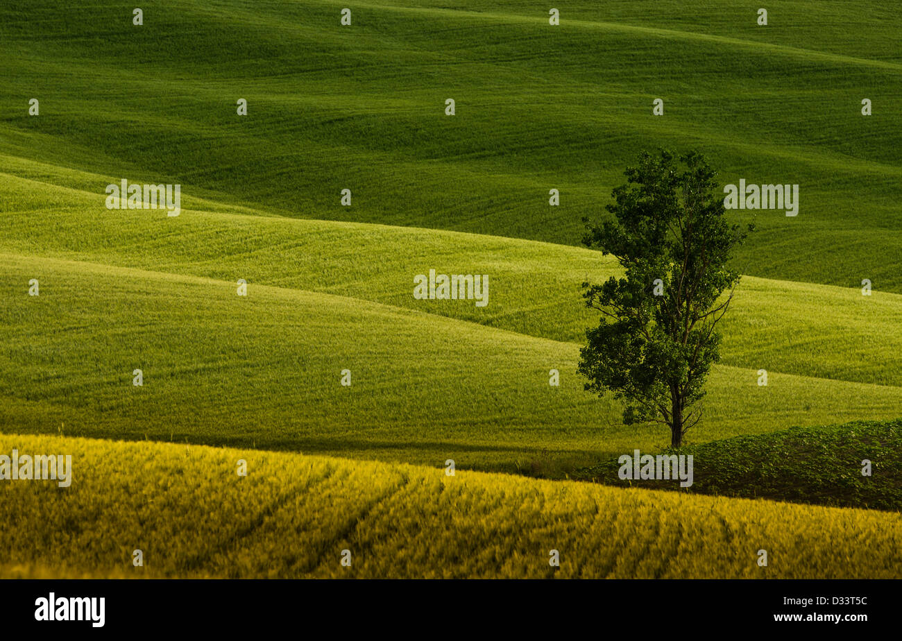 a lonely tree in the green fields of Tuscany - Stock Image