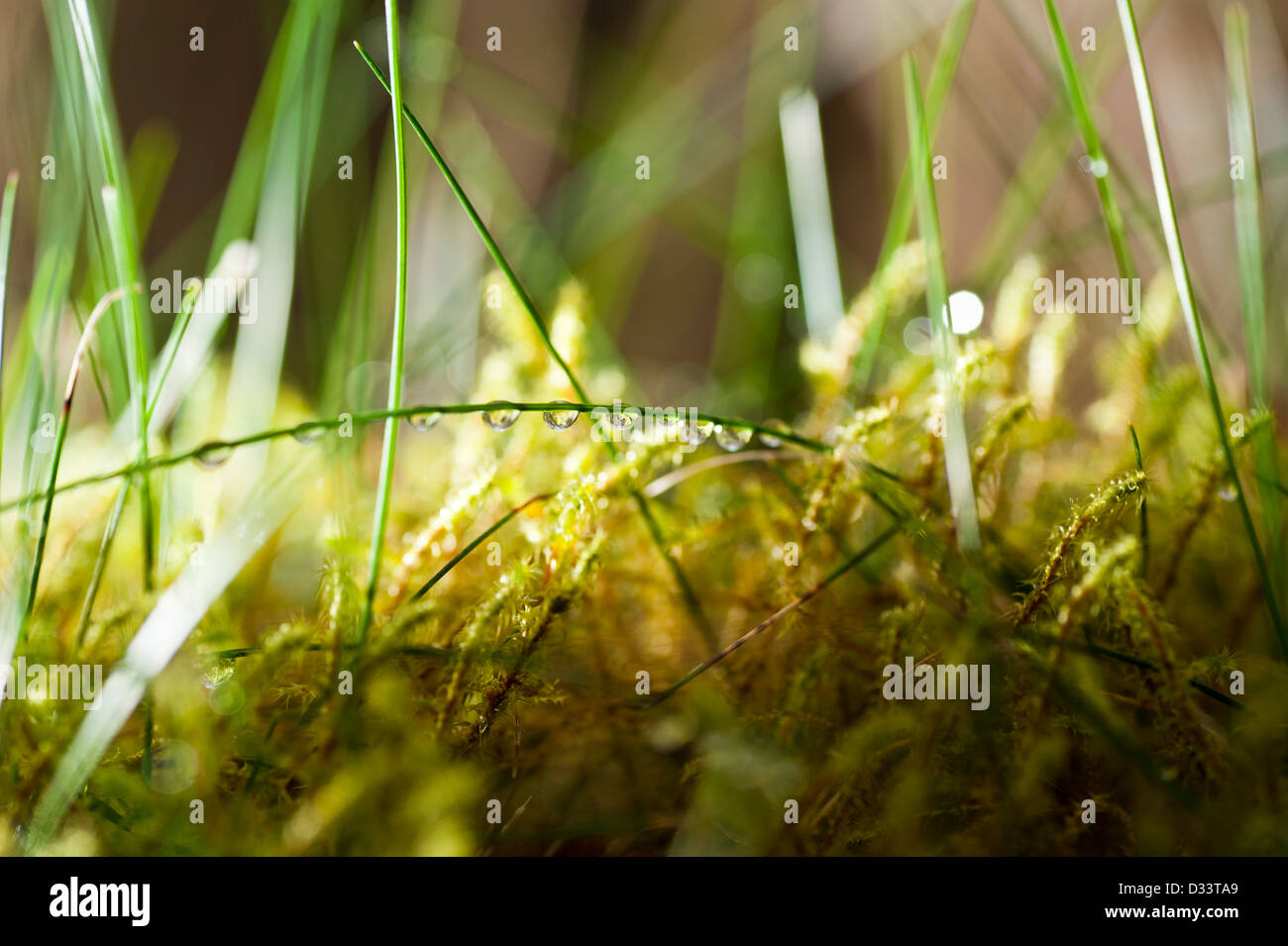 close up macro photography of dew drops droplets of water on blades of grass and green moss vegetation - Stock Image