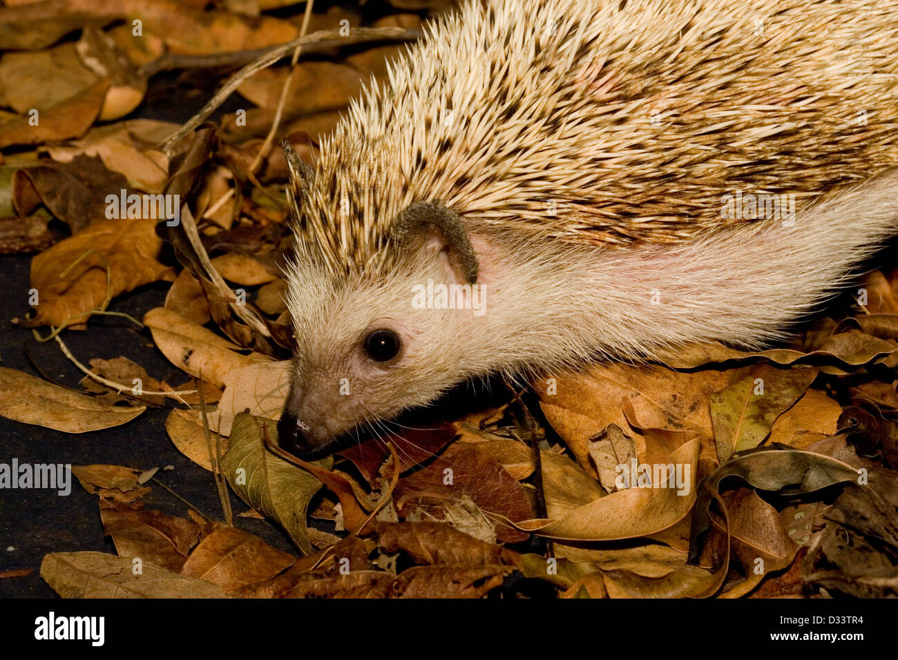 A Hedgehog foraging in leaf litter - Stock Image