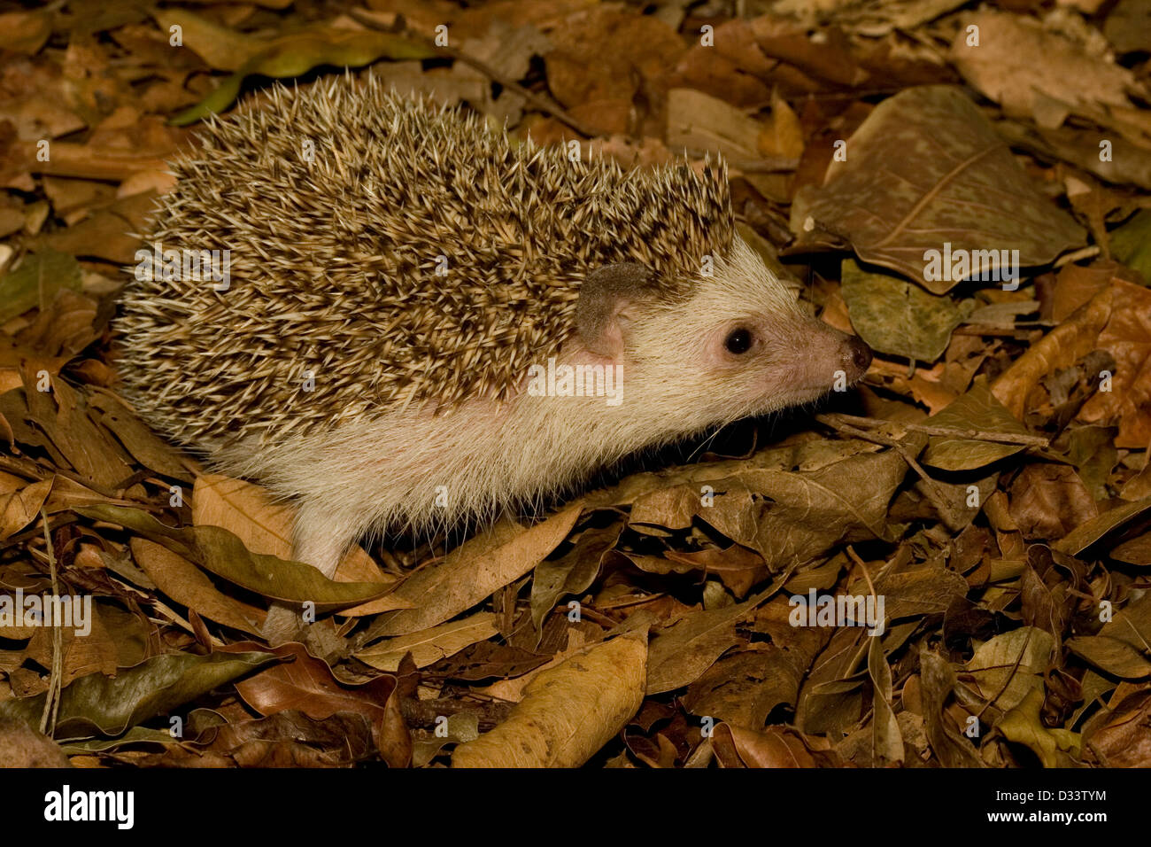 A Hedgehog foraging in leaf litter - Stock Image