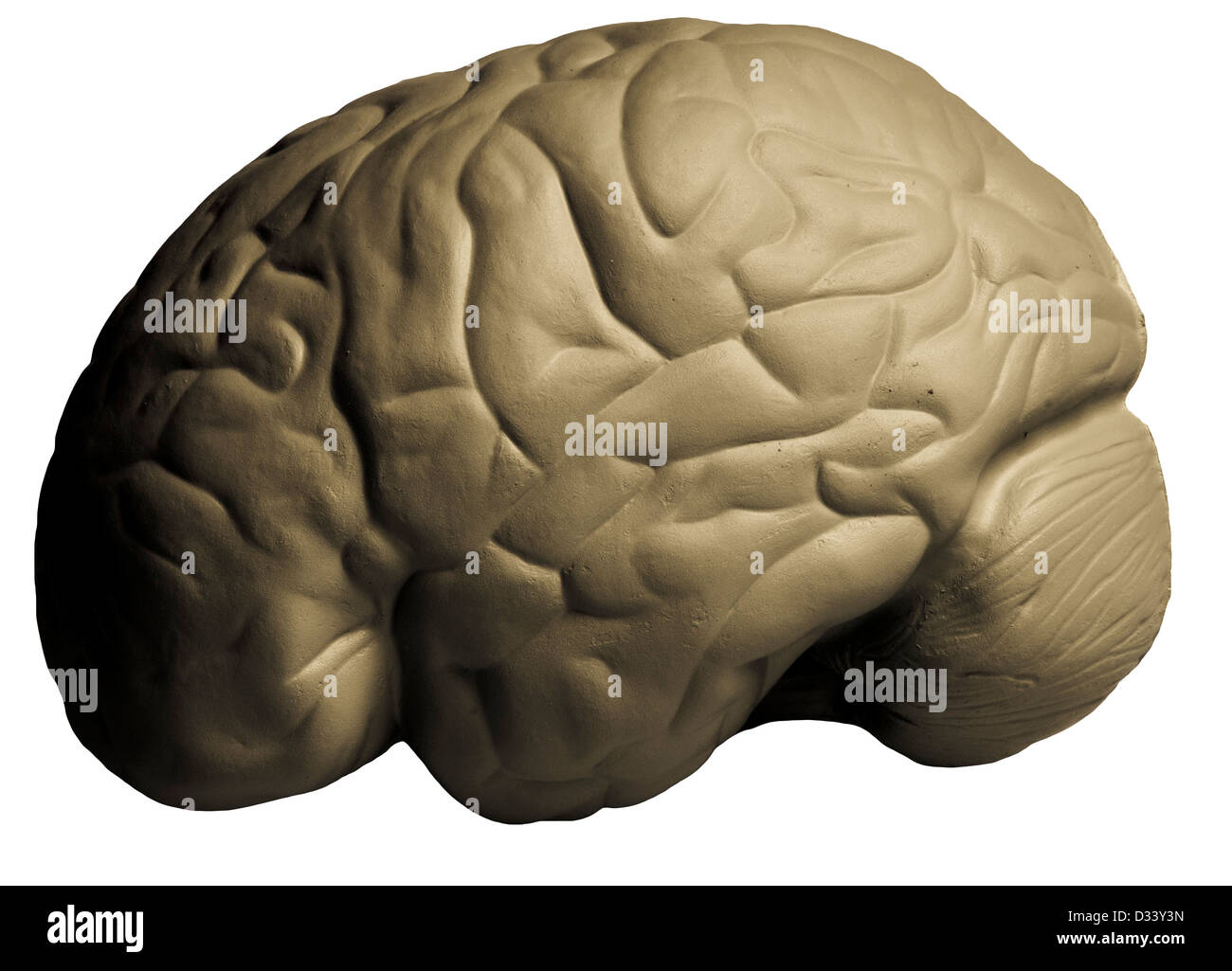 Human Brain Model For Anatomy Studying Stock Photo 53562201 Alamy