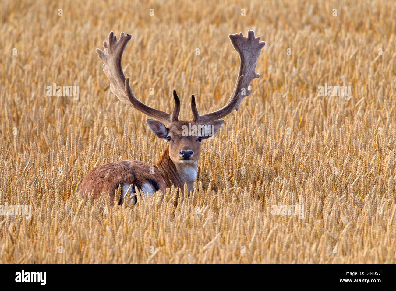 Fallow deer (Dama dama) buck with antlers covered in velvet in wheat field in summer Stock Photo